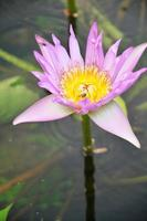 bee working on lotus in garden pond