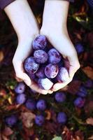 ripe blue plums on the autumn garden background photo