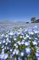 Bloom nemophila flowers (Hitachi Seaside Park)