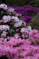 azaleas y rododemdrons foto