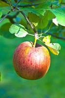 ripe apple hanging at the tree photo
