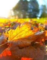 Autumn Leaf in sunlight