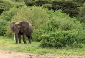Dramatic one trunk elephant in wild, Tanzania National Park