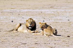 Lion and lioness photo