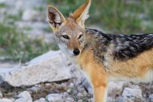 Close up of a jackal photo
