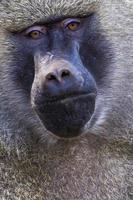 vista da cabeça do babuíno anubus no parque nacional de tarangire, tanzânia