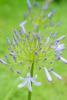 african lily flower