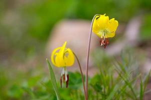 Yellow Glacier Lily, Yellowstone National Park