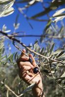 Harvesting olives by hand photo