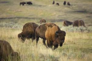 Bison browse in early morning sunlight in grasslands of Yellowst