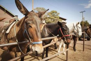 Mules for Rides at the Grand Canyon National Park