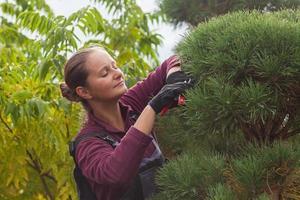 Woman gardener cuts pine using secateurs photo