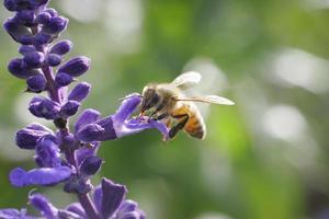 Honey bee drinking nectar on flower photo