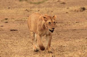 acercándose león