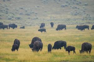 Bison of Yellowstone National Park, USA