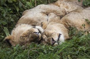 Sleeping Lions photo