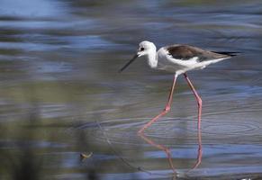 Black-winged stilt photo