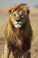 Lion male with large golden mane