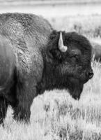 búfalo en blanco y negro foto
