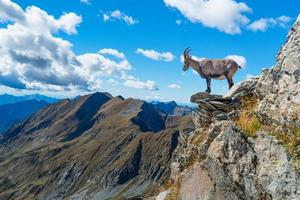 cabra montés en roca en las montañas