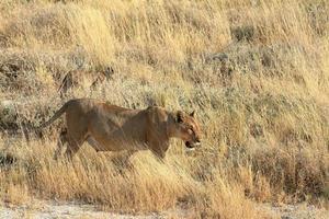 Lions in Etosha National Park in Namibia photo