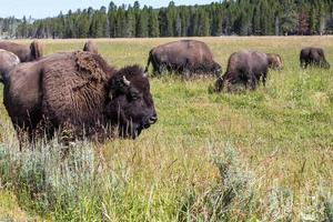 Bisontes en el Parque Nacional Yellowstone, Wyoming, EE.