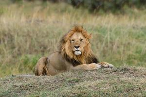 Close lion in National park of Kenya photo