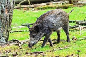 Young wild boar field