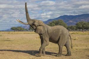 Toro elefante africano levantando la trompa foto