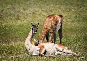 Guanaco in Torres del Paine National Park photo