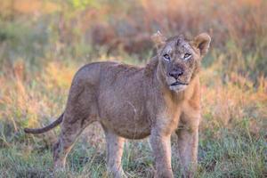 León macho joven en el parque nacional Kruger foto