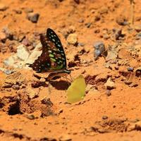 Beautiful butterfly in  Pang Sida national park. photo