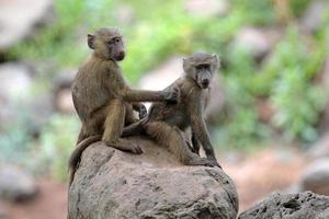 babuínos verdes jovens (papio anubis) aliciamento