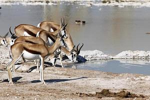 Group of springboks at a waterhole