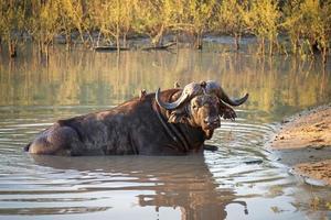 búfalo africano, sudáfrica foto