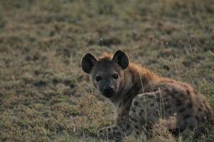 Hyena Posing