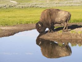 Water reflections of large Bison drinking from a clear pond.