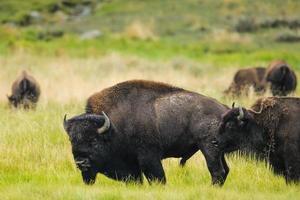 Bison of Yellowstone National Park, USA photo