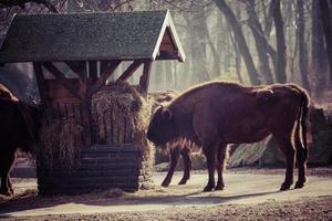 Herd of bisons in national park.