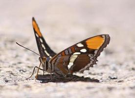 California Sister Butterfly, Yosemite National Park photo