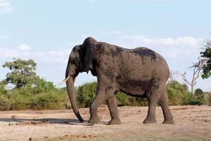 elefante africano, en, parque nacional chobe foto