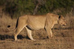 leona en el parque nacional kruger foto