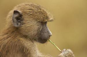 olive baboon photo