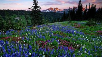 Mount Rainier Wildflowers photo