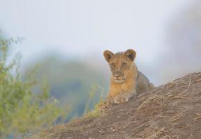 cachorro de león (panthera leo), acostado, en, termitero foto