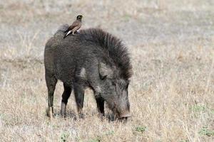 Wild boar with myna, Bandhavgarh National Park, India