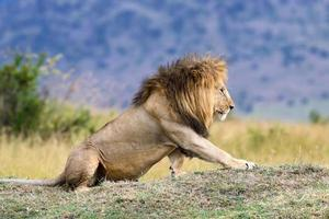 Lion in National park of Kenya, Africa photo