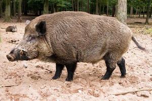 Wild boar leader