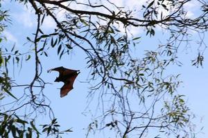 Flying Fox in Australia