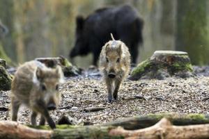 Sus scrofa young boar